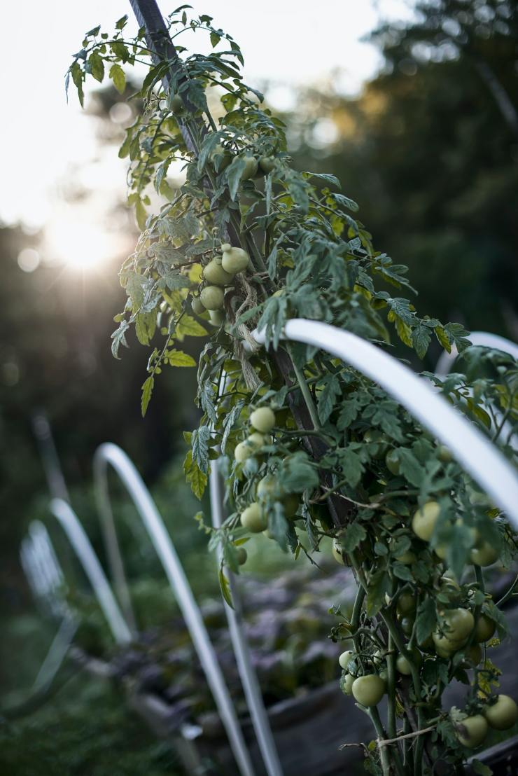 An organic vegetable plant, a tomato vine growing up a support on an organic farm. Dusk.
