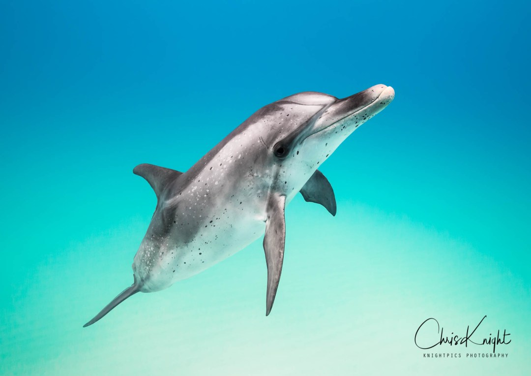 Dolphin Master by Chris Knight
