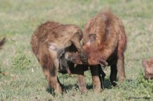 Two hyenas greet each other