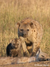 Hyena mother with daughter