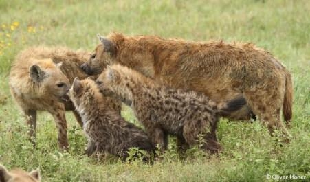 Mutter mit Jungen dominiert tieferrangiges Weibchen