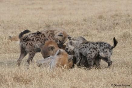 Les jeunes hyènes dominent les adultes