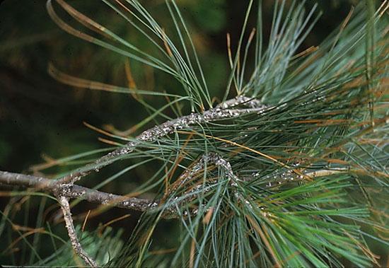 Image result for pine bark adelgid