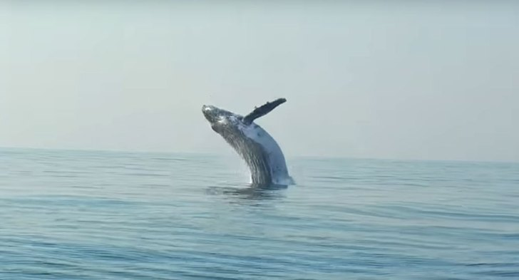 Diver Films Whale Fin Popping Out Of Ocean Next Moment Quickly - Rare moment 40 ton whale jumps completely out of the water