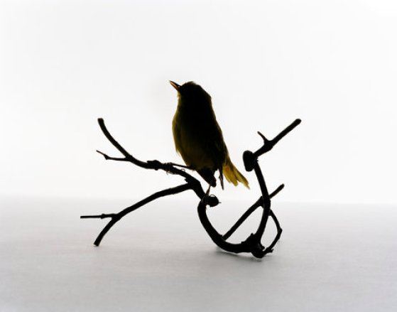 Yellow Warbler (Dendroica petechia) - Immature, storm victim, found by Elizabeth Dickens, 2 Aug, 1946 (photo credit: Katherine Wolkoff)