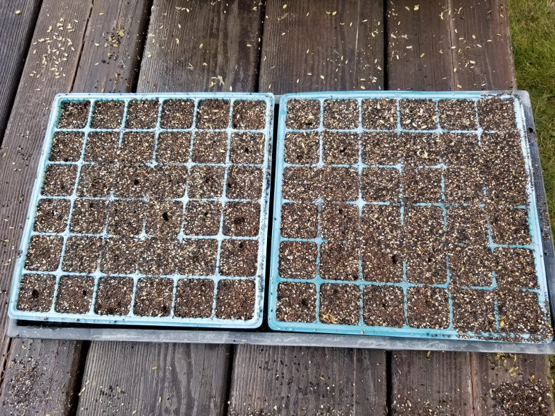 Seeding of sweet pea20181202_134331 (800x600)