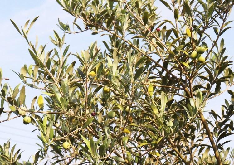 olive_IMG_1922 (800x564)