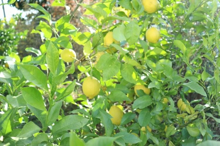 lemon_IMG_2077 (800x533)
