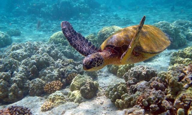 Malaysia-Green-Turtle In Habitat