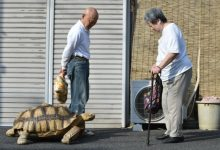 Meet the 25-year-old celebrity tortoise Bon-chan known for taking long, leisurely strolls