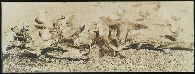 Avalon, Cal. / Lester Clement Barton. Creator(s): Barton, Lester Clement, 1884-1918, photographer Date Created/Published: 1908. Medium: 1 photographic print (postcard) Summary: Postcard shows gulls eating dead fish.