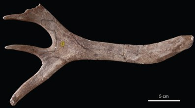 """Stone Age engraved reindeer antler """"discovered"""" last year (via Natural History Museum)"""