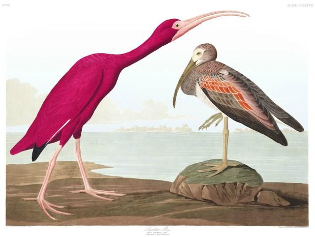 "John James Audubon, ""Scarlet Ibis"" (Plate 397 from 'The Birds of America') (courtesy Audubon Society)"