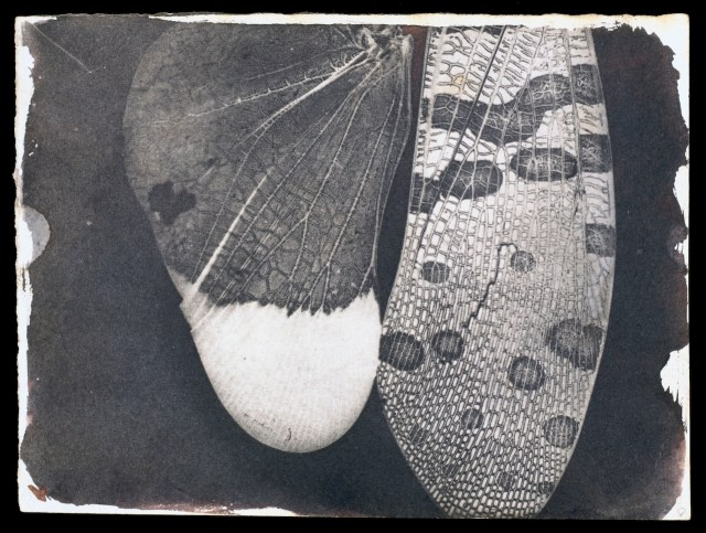 Insect Wings, c.1840, William Henry Fox Talbot © National Media Museum, Bradford / SSPL