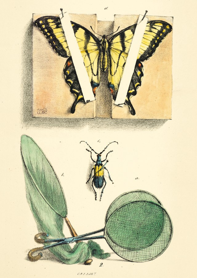 The Eastern Tiger Swallowtail, with Peale's method for spreading wings, as well as a pinned longhorn beetle and some collecting gear