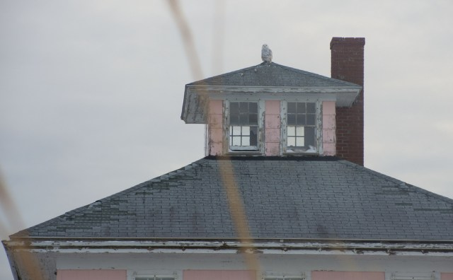 A Snowy Owl on the Pink House in 2014 (photo by Alex1961/Flickr)
