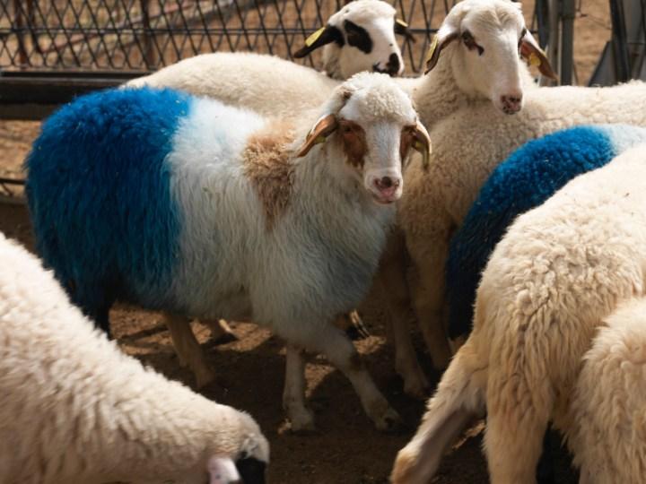 "Aboubakar Fofana, ""Ka touba Farafina yé"" (""Africa blessing,"" 2017), 54 lambs, the African continent, indigo, pasture, and people, Agricultural University of Athens, Athens, Documenta 14 (photo by Stathis Mamalakis, courtesy Documenta 14)"