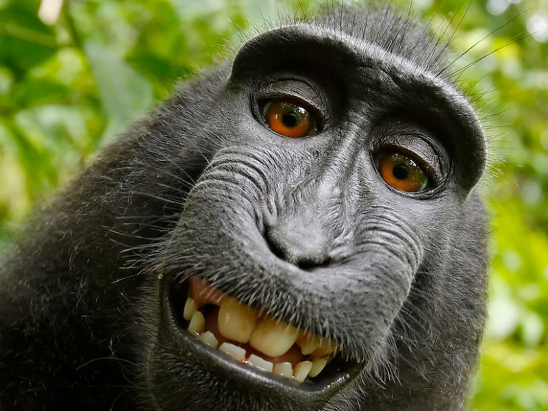 Self-portrait of a female Celebes crested macaque (Macaca nigra) in North Sulawesi, Indonesia, who had picked up photographer David Slater's camera and photographed herself with it. (via Wikimedia Commons)
