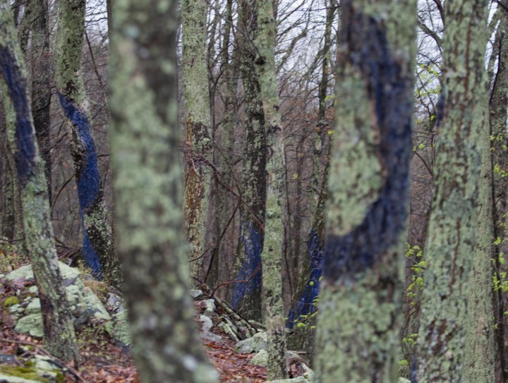 Trees painted with a casein of buttermilk and ultramarine blue pigment to grow moss in Brush Mountain, Virginia, location of proposed New Market pipeline (photo by Sarah Miller, 2016; courtesy Aviva Rahmani)