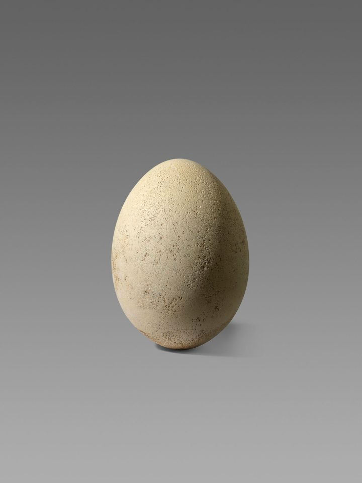 An intact elephant bird egg, Madagascar, pre-17th century (image courtesy Christie's)