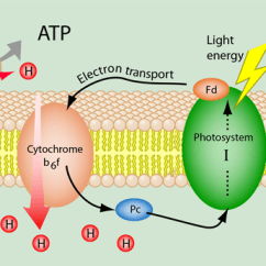Light Reactions Photosystem Diagram 4 Pin To 7 Trailer Adapter Wiring Cyclic Electron Transport In Photosynthesis