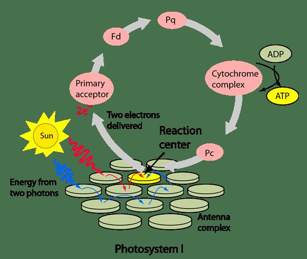 light reactions photosystem diagram yamaha virago xv 535 wiring cyclic electron transport in photosynthesis