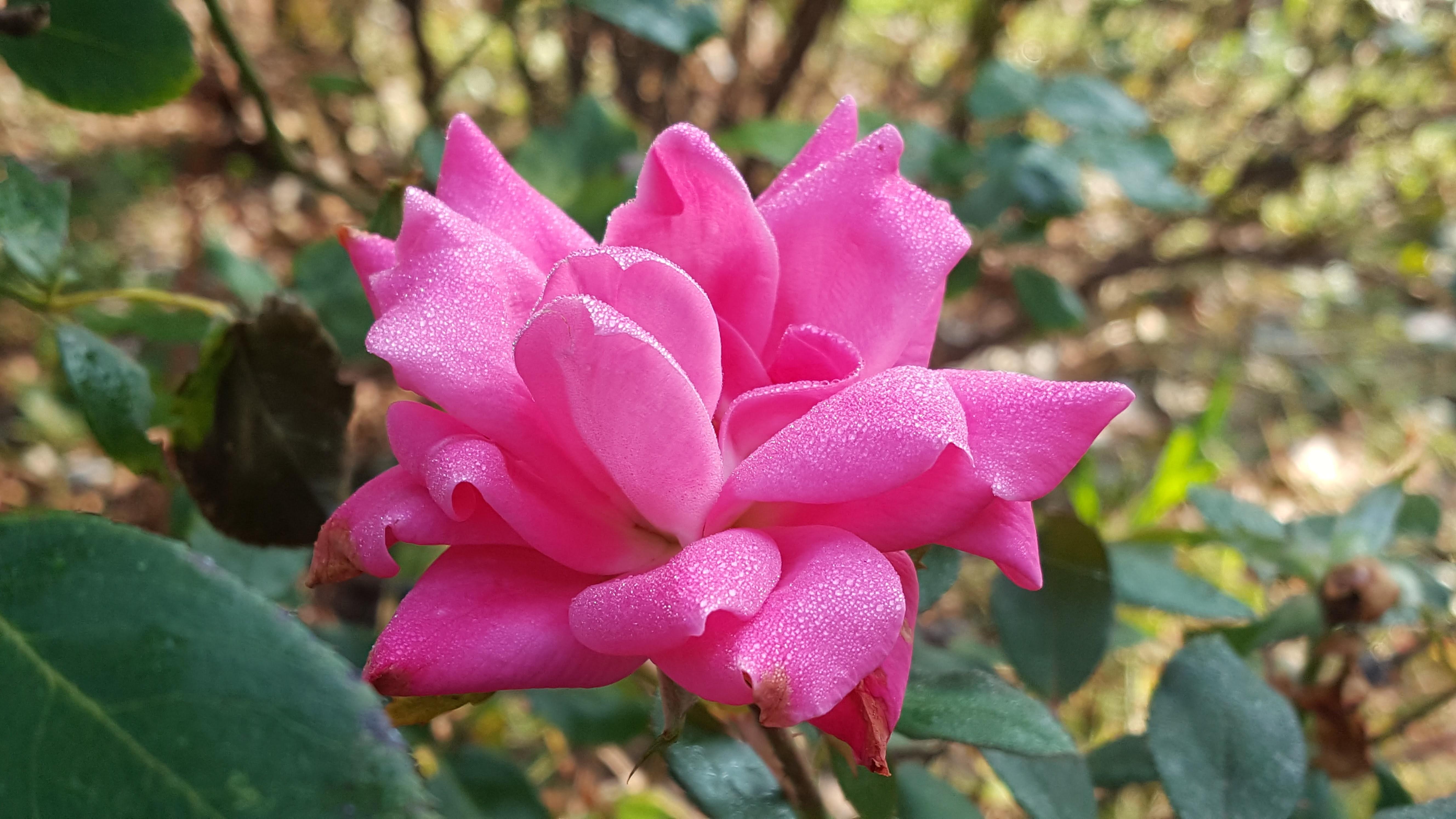 Roses, comparing