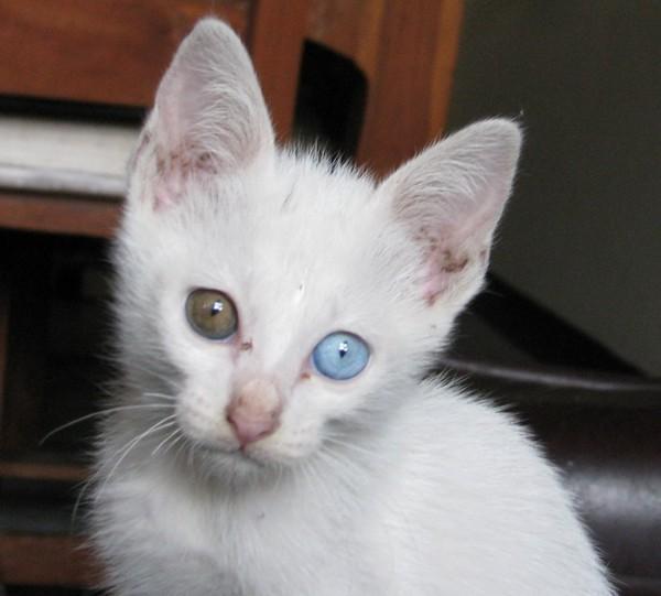 gato Khao Manee
