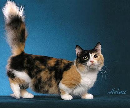 munchkin gato anão
