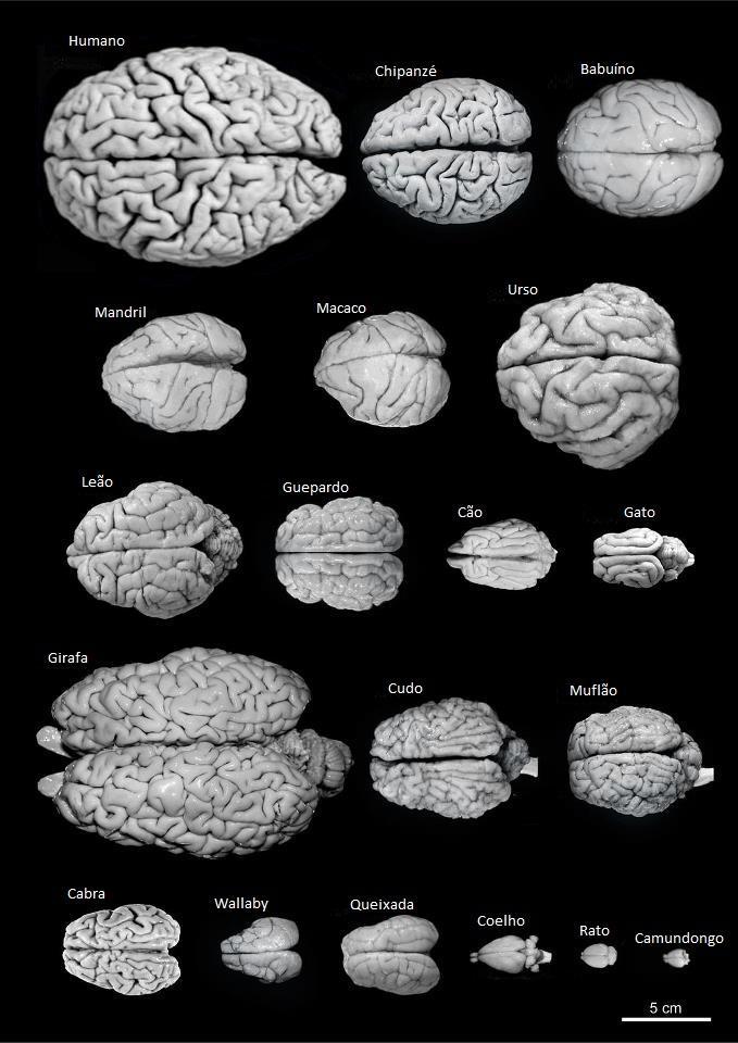 Cérebros