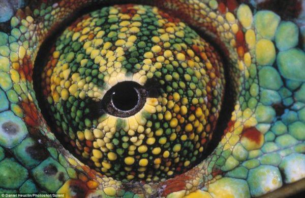 """Essa é a foto preferida do fotógrafo: """"A textura e a paleta de cores em um espaço tão pequeno é surpreendente"""", disse ele, que fotografou esse camaleão-pantera em Madagascar"""