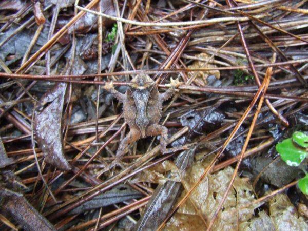 Proceratophrys melanopogon, fotografado no Parque Estadual do Brigadeiro, município de Ervália/MG