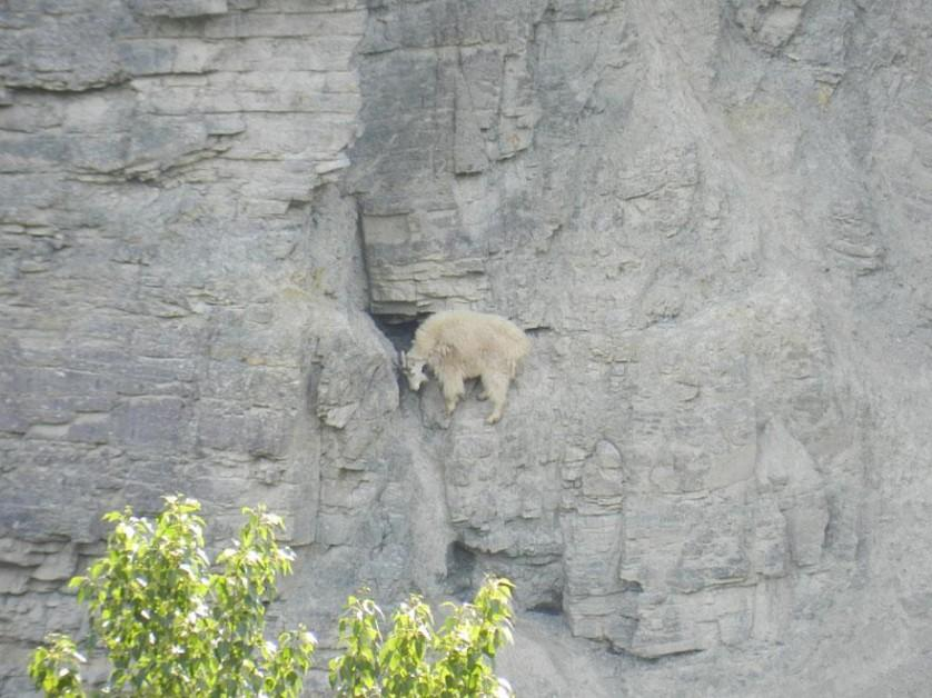 crazy-goats-on-cliffs-17