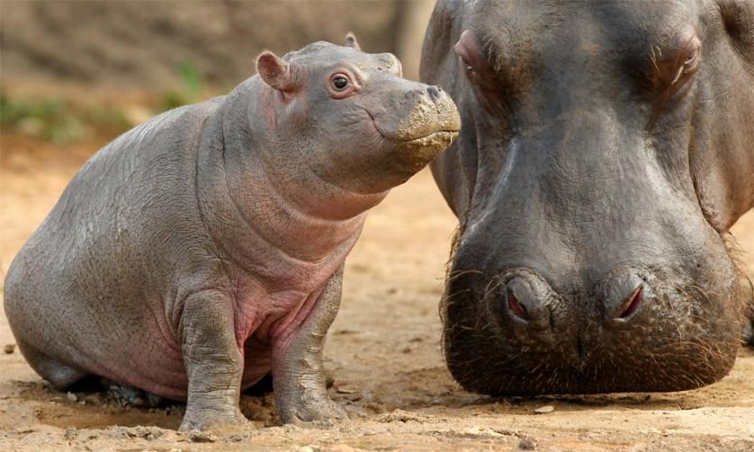 Hipopótamo bebê com a mãe. Hipopótamos recém-nascidos são relativamente pequenos, pesando de 25 a 55 quilos, e são protegidos por suas mães não só de crocodilos e leões, mas de hipopótamos machos adultos também. Foto por: autor desconhecido