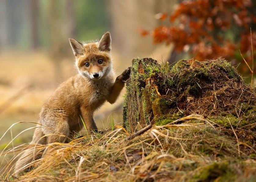 amazing-fox-photos-25