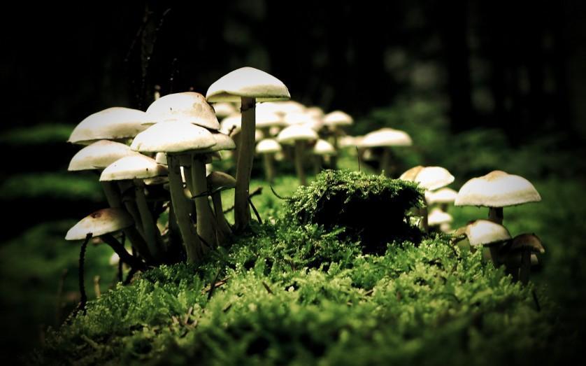 cogumelos alucinógenos