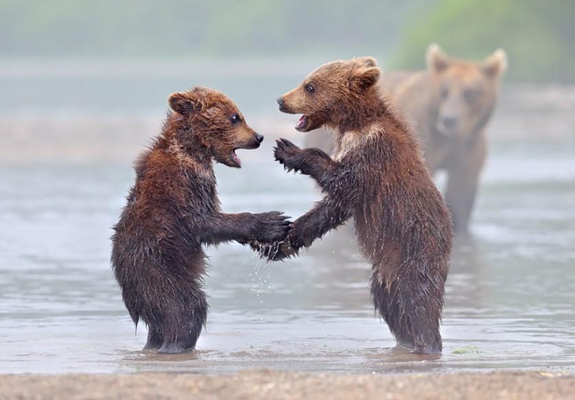 filhotes de ursos 15