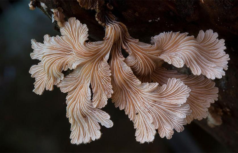 foto cogumelos Schizophyllum Commune