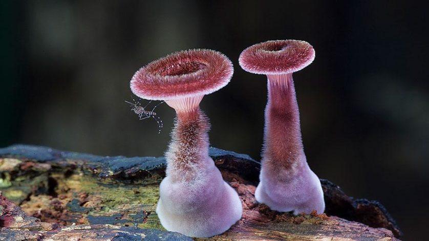 foto do cogumelo Panus Fasciatus