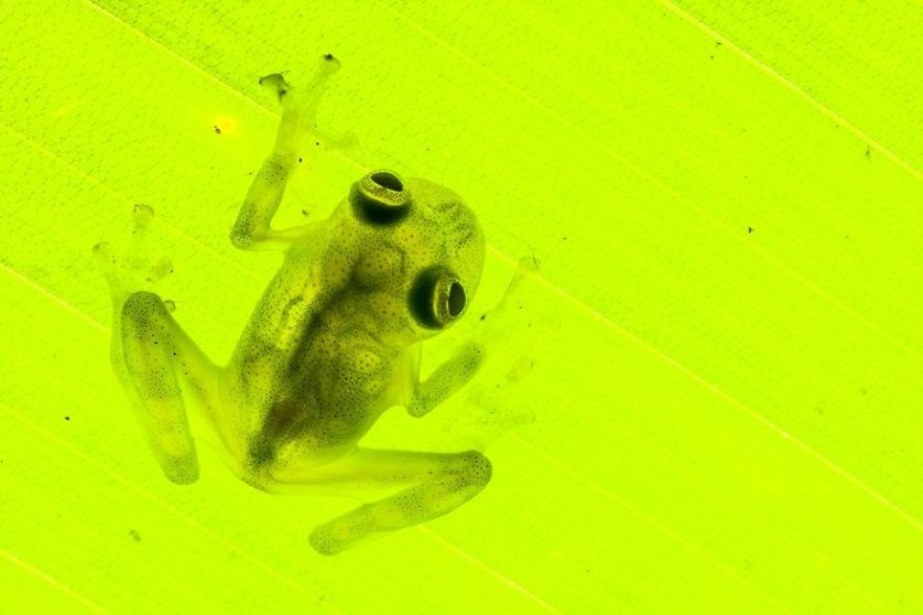 cricket glass frog, Hyalinobatrachium colymbiphyllum