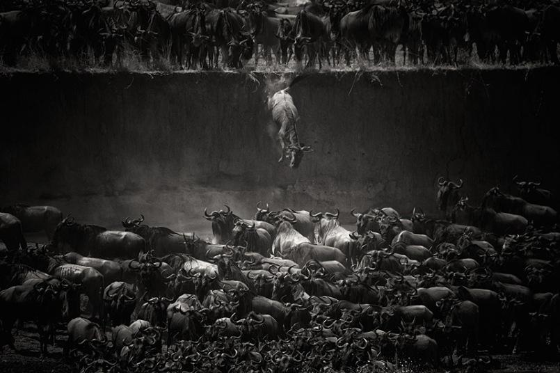 """""""A Grande Migração"""" pegou o primeiro lugar, com o salto de gnus no rio Mara, em Serengeti, na Tanzânia. A fotografia é de Nicole Cambré"""