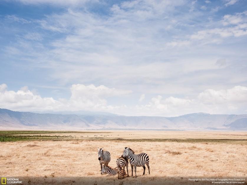 """""""As zebras em uma cratera"""", de Zik Teo, imagem feita na Área de Conservação de Ngorongoro, na Tanzânia, levou menção honrosa"""