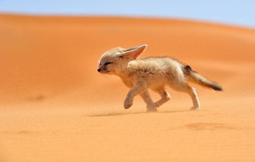 raposas 1