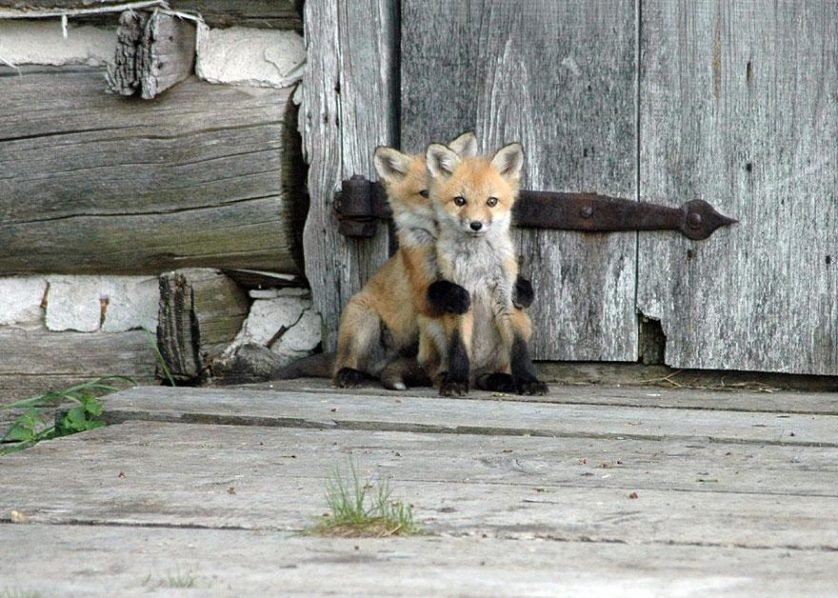 raposas 2--