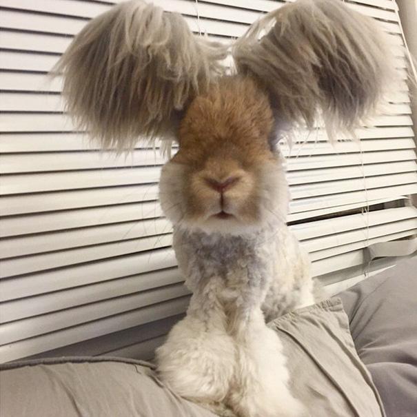 wally coniglio d'angora (2)