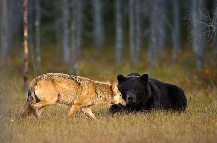 urso e lobo melhores amigos (7)