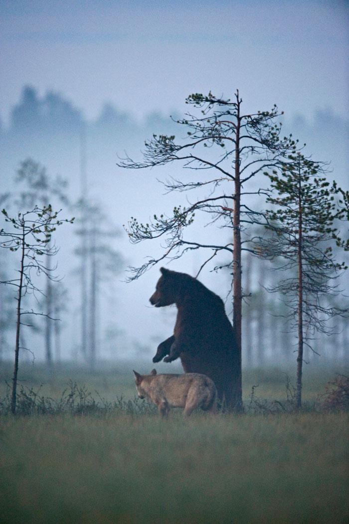 urso e lobo melhores amigos (8)