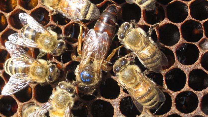 abelha rainha geleia real