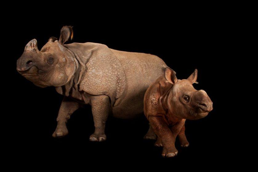Um rinoceronte-indiano ameaçado fêmea, com seu filhote (Rhinoceros unicornis) no jardim zoológico de Fort Worth, EUA