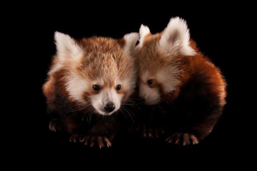Pandas-vermelhos gêmeos de três meses de idade (Ailurus fulgens fulgens) no jardim zoológico de Lincoln
